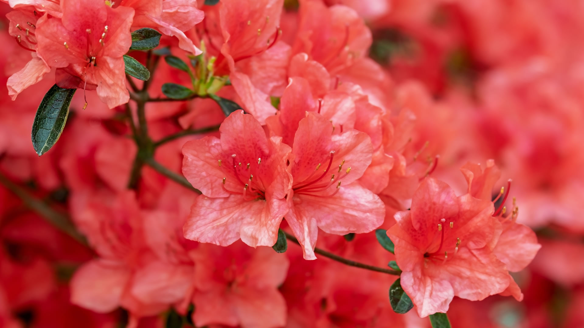 azalea-bg-red